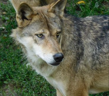 Beautiful wolf, summer coat, Sommerfell