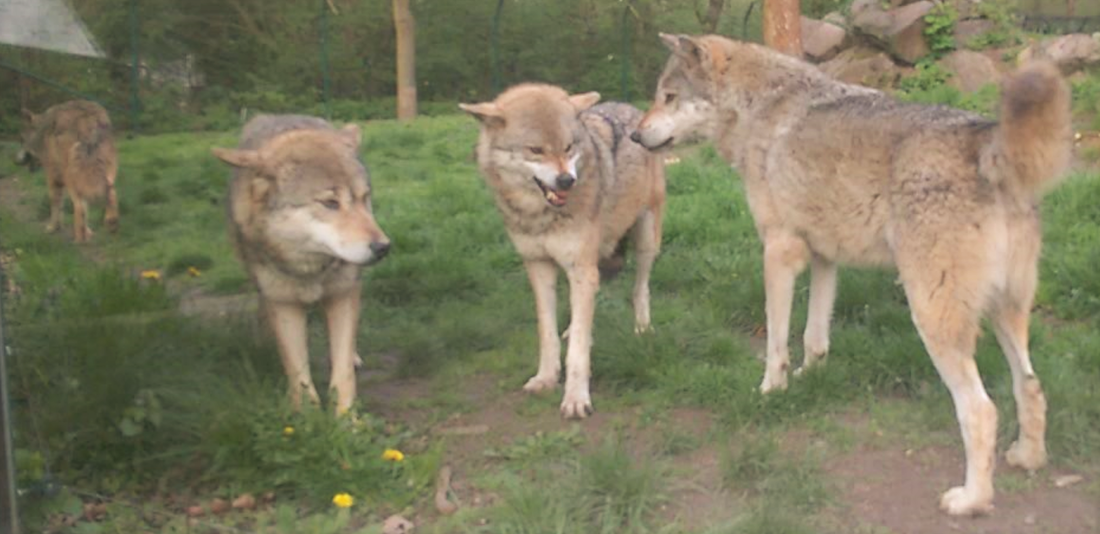 Wolf Dominanz, dominance, Zoo Tiergarten Worms