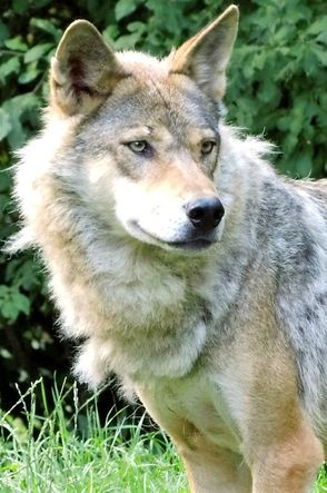 Beautiful wolf Goldie European wolf loup