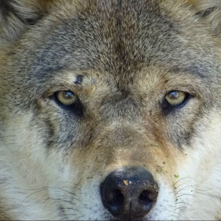 Wolf close-up face, eyes
