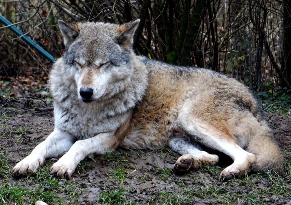 wolf winter coat Winterfell Zoo Worms