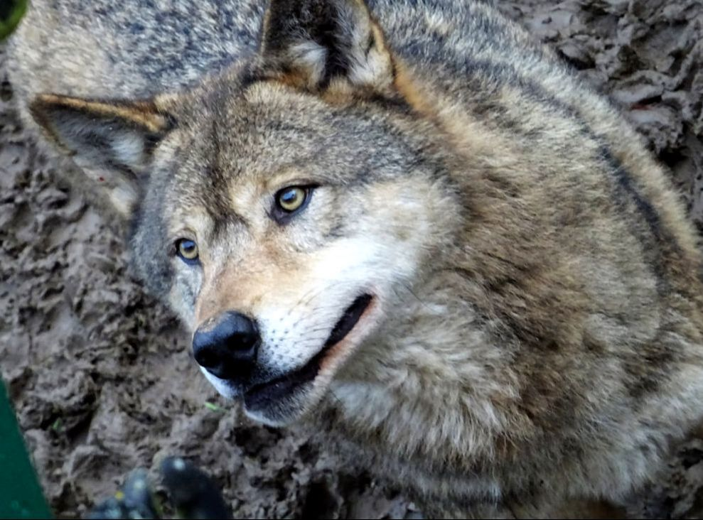 cute wolf, grey wolf European