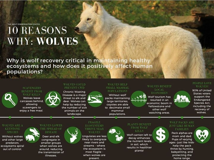 10 reasons why wolves are essential!