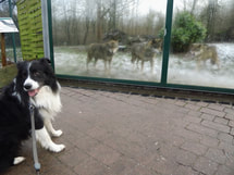 Border Collie und Wolf, dog, chien et loup, Tiergarten Worms