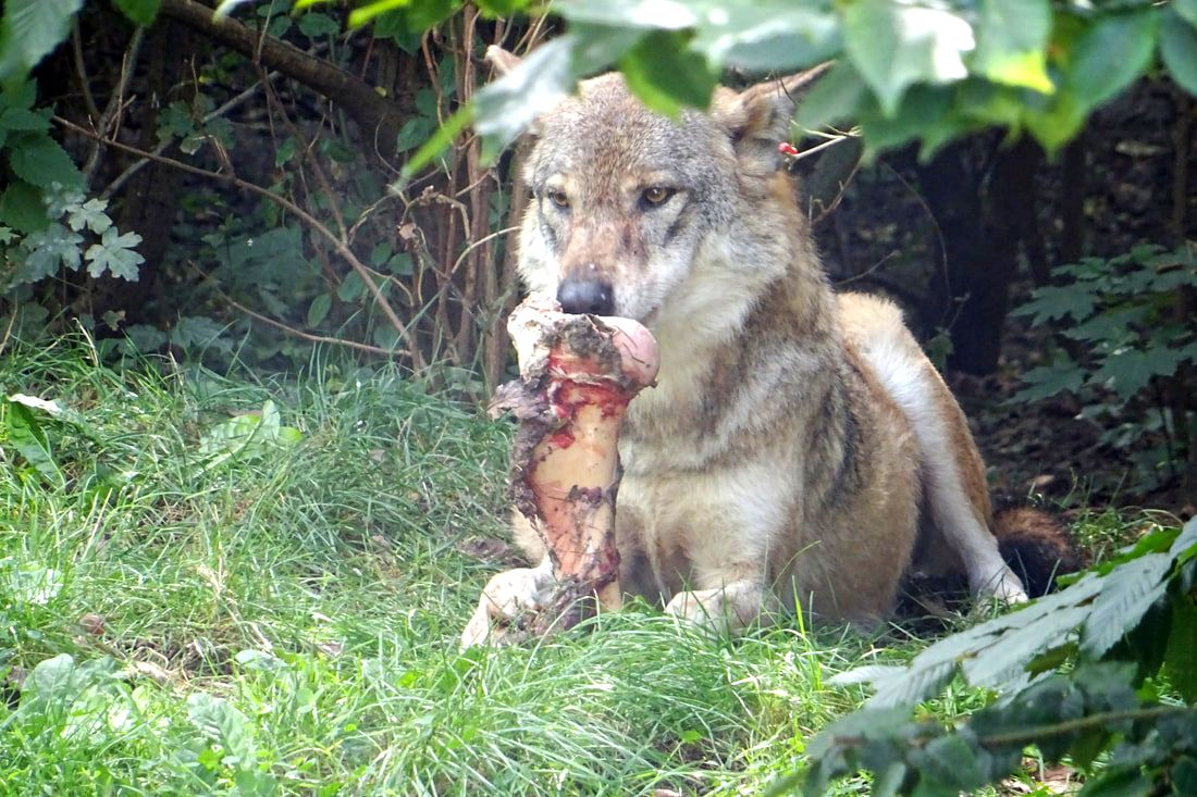 Wolf eating bone