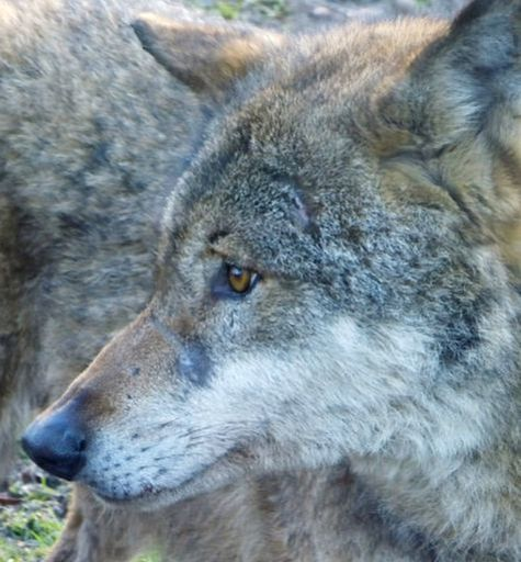 Wolf Birger with scars